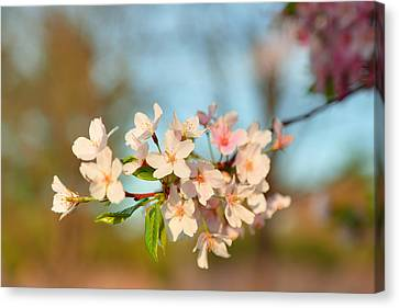 Cherry Blossoms 2013 - 073 Canvas Print by Metro DC Photography