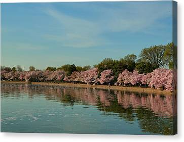 Cherry Blossoms 2013 - 088 Canvas Print