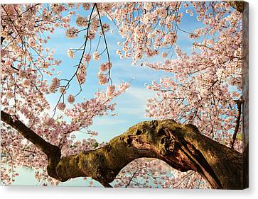 Cherry Blossoms 2013 - 089 Canvas Print by Metro DC Photography