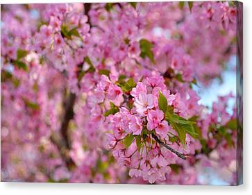 Cherry Blossoms 2013 - 096 Canvas Print by Metro DC Photography
