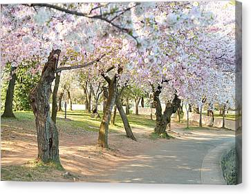 Cherry Blossoms Canvas Print - Cherry Blossoms 2013 - 099 by Metro DC Photography