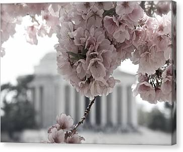 Cherry Blossoms At Jefferson Memorial Canvas Print