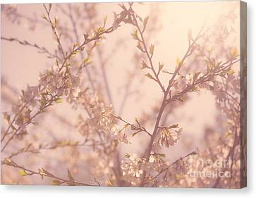 Cherry Blossoms Canvas Print by Diane Diederich