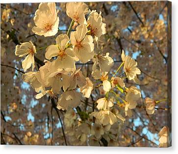 Canvas Print featuring the photograph Cherry Blossoms by Emmy Marie Vickers