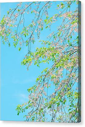 Cherry Blossoms Falling Canvas Print by Rachel Mirror