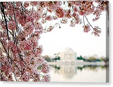 Cherry Blossoms Framing The Jefferson Memorial Canvas Print by Susan Schmitz