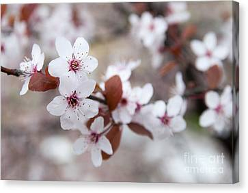 Cherry Blossoms Canvas Print by Hannes Cmarits