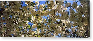 Cherry Blossoms In Bloom, Riverside Canvas Print by Panoramic Images