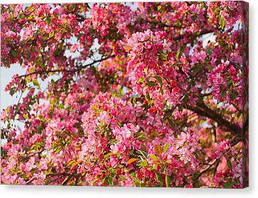 Canvas Print featuring the photograph Cherry Blossoms In Washington D.c. by Mitchell R Grosky