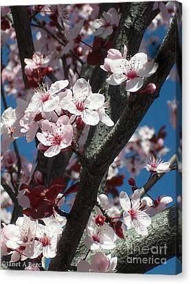 Cherry Blossoms Canvas Print by Janet Berch