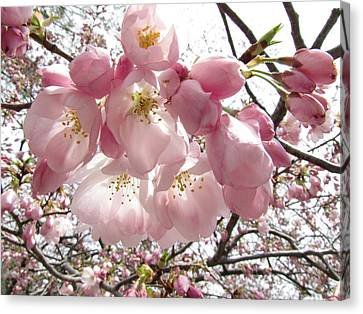 Cherry Blossoms Canvas Print by Jennifer Wheatley Wolf
