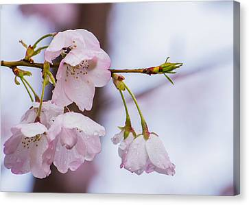 Cherry Blossoms Canvas Print by Jon Woodhams