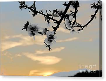Cherry Blossoms Canvas Print by Jordan Rusin
