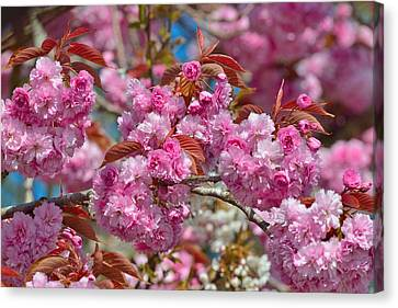 Cherry Blossoms Canvas Print by Kathy King