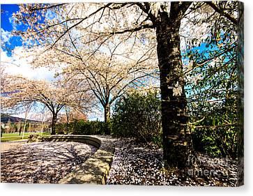 Cherry Blossoms Canvas Print by Nancy Harrison