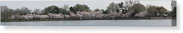 Cherry Blossoms - Panorama - Washington Dc - 01133 Canvas Print by DC Photographer