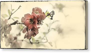 Canvas Print featuring the photograph Cherry Blossoms by Peter v Quenter
