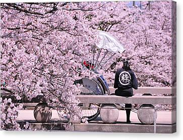Cherry Blossoms Road Canvas Print by Jinjer Templer