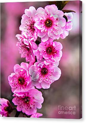 Haybales Canvas Print - Cherry Blossoms by Robert Bales