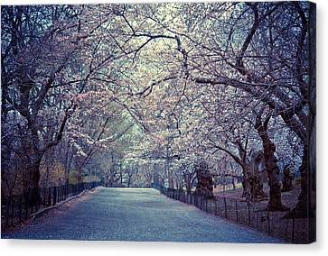 Cherry Blossoms - Spring - Central Park Canvas Print by Vivienne Gucwa