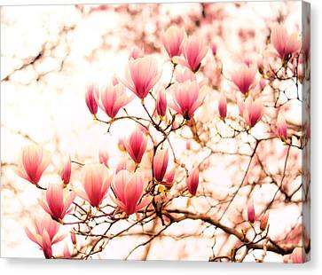 Cherry Blossoms - Springtime Blush Pink Canvas Print by Vivienne Gucwa