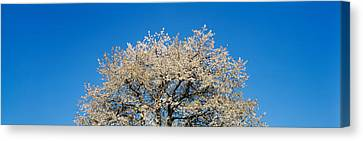 Cherry Blossoms, Switzerland Canvas Print by Panoramic Images