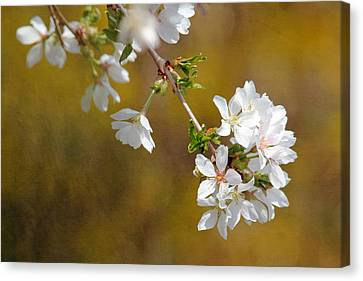 Canvas Print featuring the photograph Cherry Blossoms by Trina  Ansel