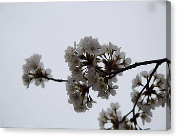 Cherry Blossoms - Washington Dc - 0113100 Canvas Print by DC Photographer