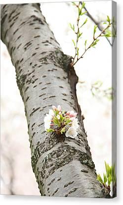 Cherry Blossoms - Washington Dc - 0113106 Canvas Print by DC Photographer