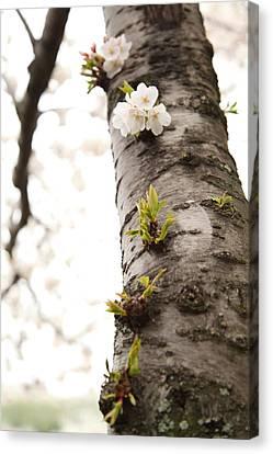 Cherry Blossoms - Washington Dc - 0113107 Canvas Print by DC Photographer