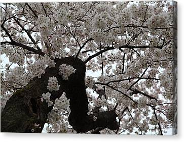 Cherry Blossoms - Washington Dc - 0113114 Canvas Print by DC Photographer