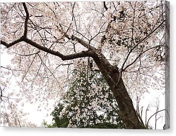 Cherry Blossoms - Washington Dc - 0113115 Canvas Print by DC Photographer