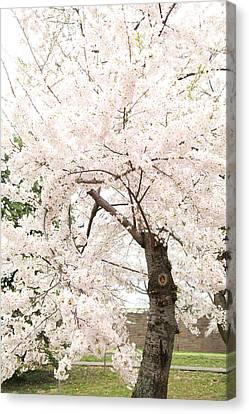 Cherry Blossoms - Washington Dc - 0113119 Canvas Print