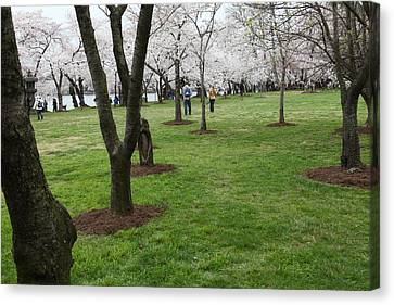 Cherry Blossoms - Washington Dc - 0113128 Canvas Print by DC Photographer