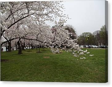 Cherry Blossoms - Washington Dc - 0113130 Canvas Print by DC Photographer