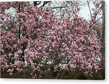 Cherry Blossoms - Washington Dc - 0113133 Canvas Print by DC Photographer