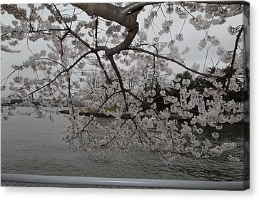Cherry Blossoms - Washington Dc - 0113134 Canvas Print by DC Photographer
