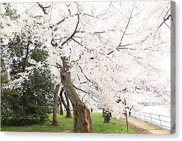 Historic Canvas Print - Cherry Blossoms - Washington Dc - 0113135 by DC Photographer