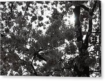 Cherry Blossoms - Washington Dc - 011332 Canvas Print by DC Photographer