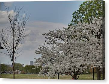 Cherry Blossoms - Washington Dc - 011348 Canvas Print