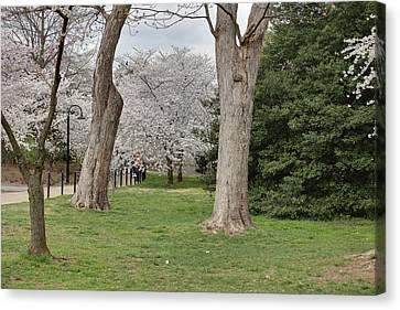 Cherry Blossoms - Washington Dc - 011349 Canvas Print by DC Photographer