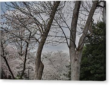 Japan Canvas Print - Cherry Blossoms - Washington Dc - 011354 by DC Photographer