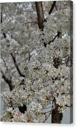 Outside Canvas Print - Cherry Blossoms - Washington Dc - 011358 by DC Photographer