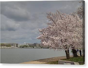 Cherry Blossoms - Washington Dc - 011361 Canvas Print