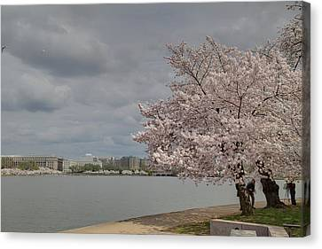 Cherry Blossoms - Washington Dc - 011362 Canvas Print by DC Photographer