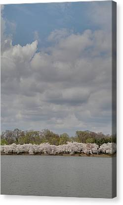 Cherry Blossoms - Washington Dc - 011368 Canvas Print
