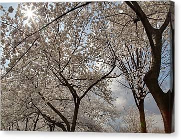 Cherry Blossoms - Washington Dc - 011375 Canvas Print