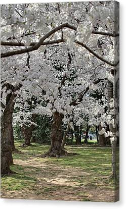 Cherry Blossoms - Washington Dc - 011383 Canvas Print by DC Photographer