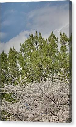 Cherry Blossoms - Washington Dc - 011387 Canvas Print by DC Photographer