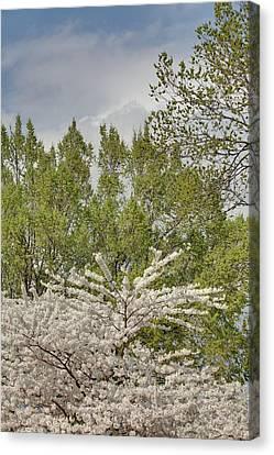Cherry Blossoms - Washington Dc - 011388 Canvas Print by DC Photographer
